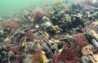 Zeeduivel zwemt langs een wrak