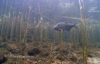 Reusachtige meerval bewaakt haar nest