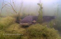 Zeekatten (sepia's) zet eieren af