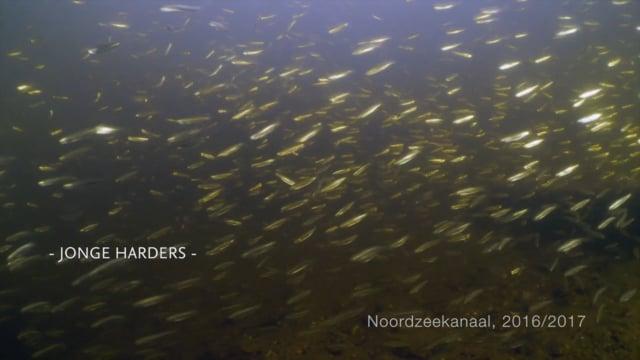 Vismigratie in het Noordzeekanaal