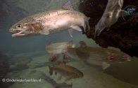 Stekelbaars migreert door het zoete water