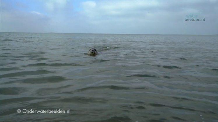 Zeehond onderwater voor de Noordzee kust