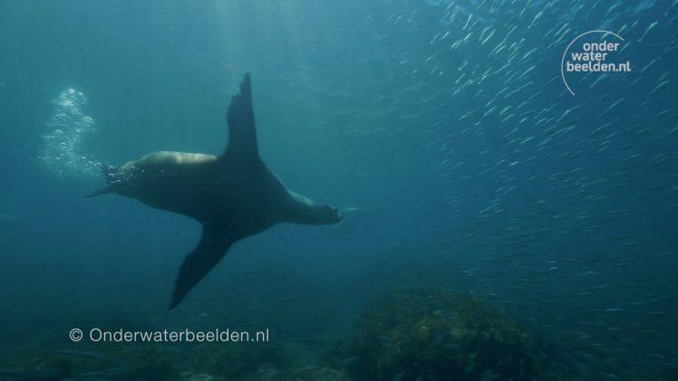 Zeeleeuw raast als een dolle door het water